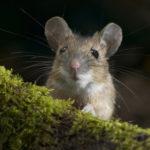 ТОП-4 способа, как избавиться от мышей в доме
