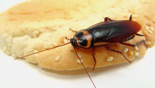Таракан сидит на куске хлеба