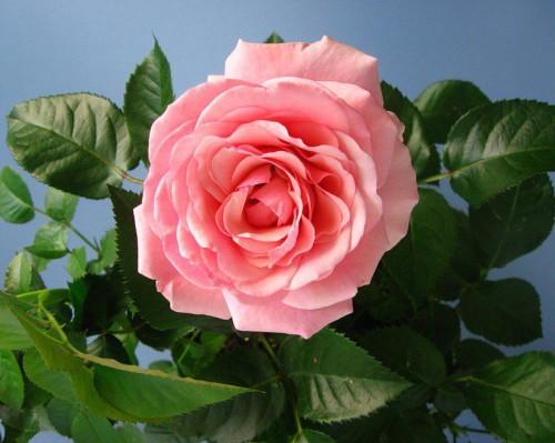 Бутон комнатной розы
