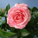 Как правильно ухаживать за комнатной розой