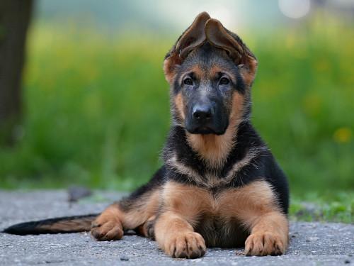 Собака, немецкая овчарка лежит на земле