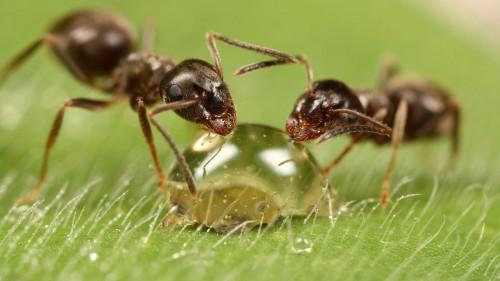 Муравьи питаются каплей воды с сахаром