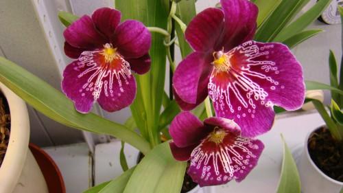 Пересаженная орхидея Фаленопсис