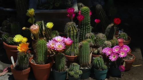 Цветущие разные кактусы в горшках