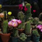 Как правильно пересаживать кактусы в домашних условиях