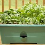 Выращивание шпината в домашних условиях в открытом грунте