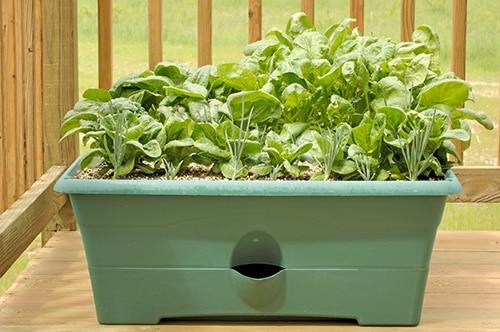 Выращивание шпината в ящике