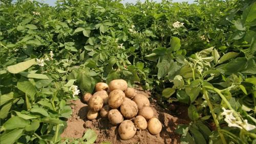 Картошка в поле