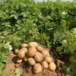 Технология выращивания картофеля на даче, в огороде, в открытом грунте