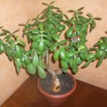Как пересадить денежное дерево в домашних условиях в другой горшок