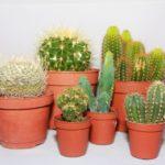 Как нужно ухаживать за кактусами в горшке в домашних условиях – секреты и нюансы: ухода, пересадки, разведения