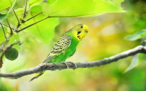 Волнистый попугай сидит на ветке дерева