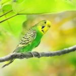 Волнистый попугай: уход и содержание