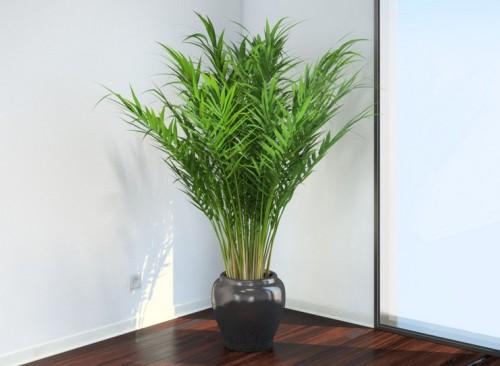 Пальма Арека в горшке стоит в углу комнаты