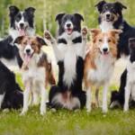 5 пород собак с самым развитым интеллектом